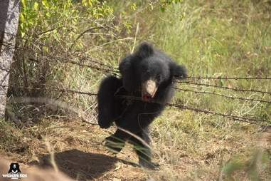Baby sloth bear caught in snare