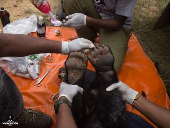 Rescuers holding up the injured paws of a rescued cloth bear