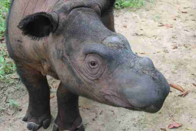 Critically endangered Sumatran rhino