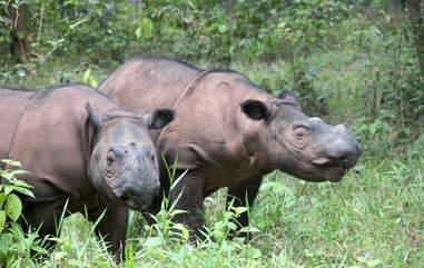 Critically endangered Sumatran rhinos