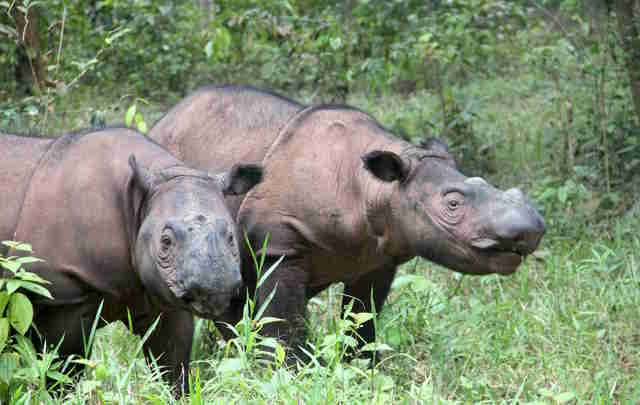 Critically endangered Sumatran rhinos