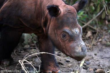 Critically endangered Sumatran rhino