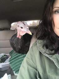 Rescued turkey on car ride