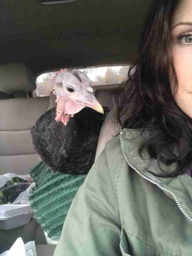 Rescued turkey on car ride