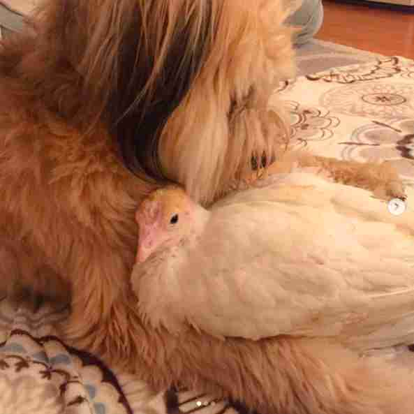 Rescue turkey and dog cuddling together