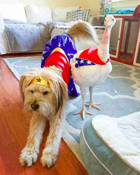 Turkey and dog in Wonder Woman costumes