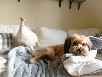 Rescue dog and turkey on couch together