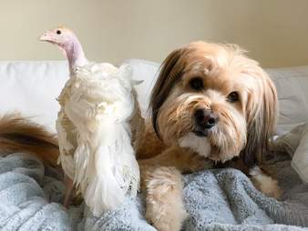 Dog and turkey hanging out together