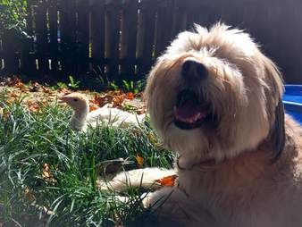 Rescue dog and turkey out on the lawn together