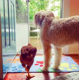 Rescue dog and chicken staring out the door together