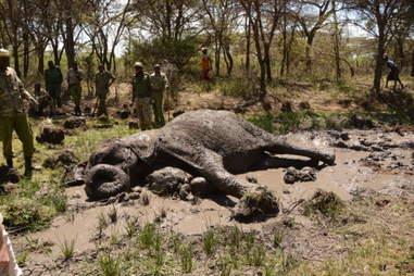 Injured elephant lying in mud hole