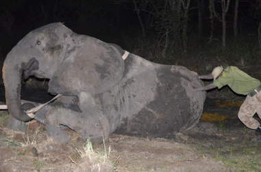Man trying to push injured elephant out of the mud