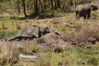 Elephant lying next to his dying mother in muddy water hole