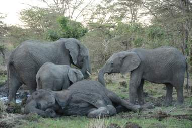 Elephant calves touching their dying mother with their trunks