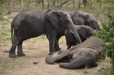Elephants touching the dead body of their dying mother