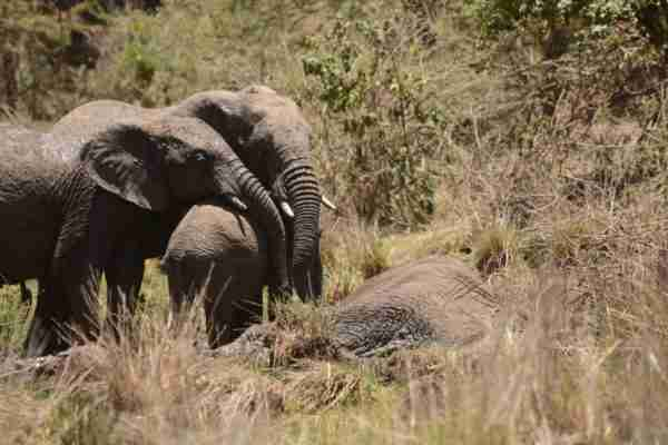 Older elephant hugging a smaller elephant with their trunks