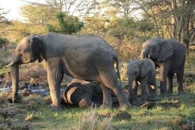Elephant herd comforting each other as their mother dies