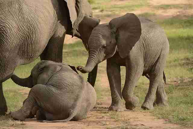 Baby elephants playing together