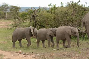 Baby elephants walking in line together