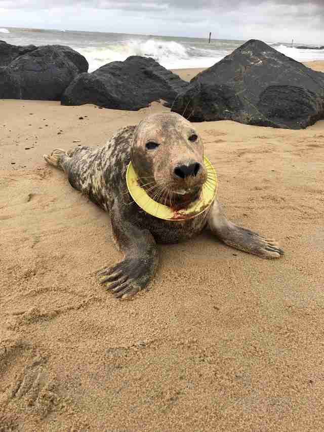seal with a frisbee embedded in her neck