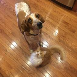 coonhound lab dog violet rescue