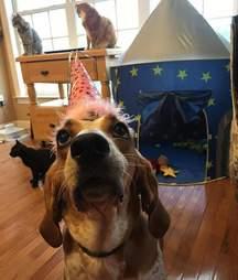coonhound Violet lab dog rescued