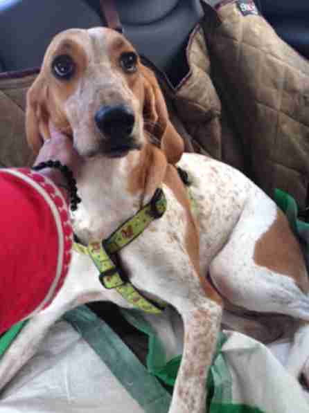 coonhound lab dog rescued
