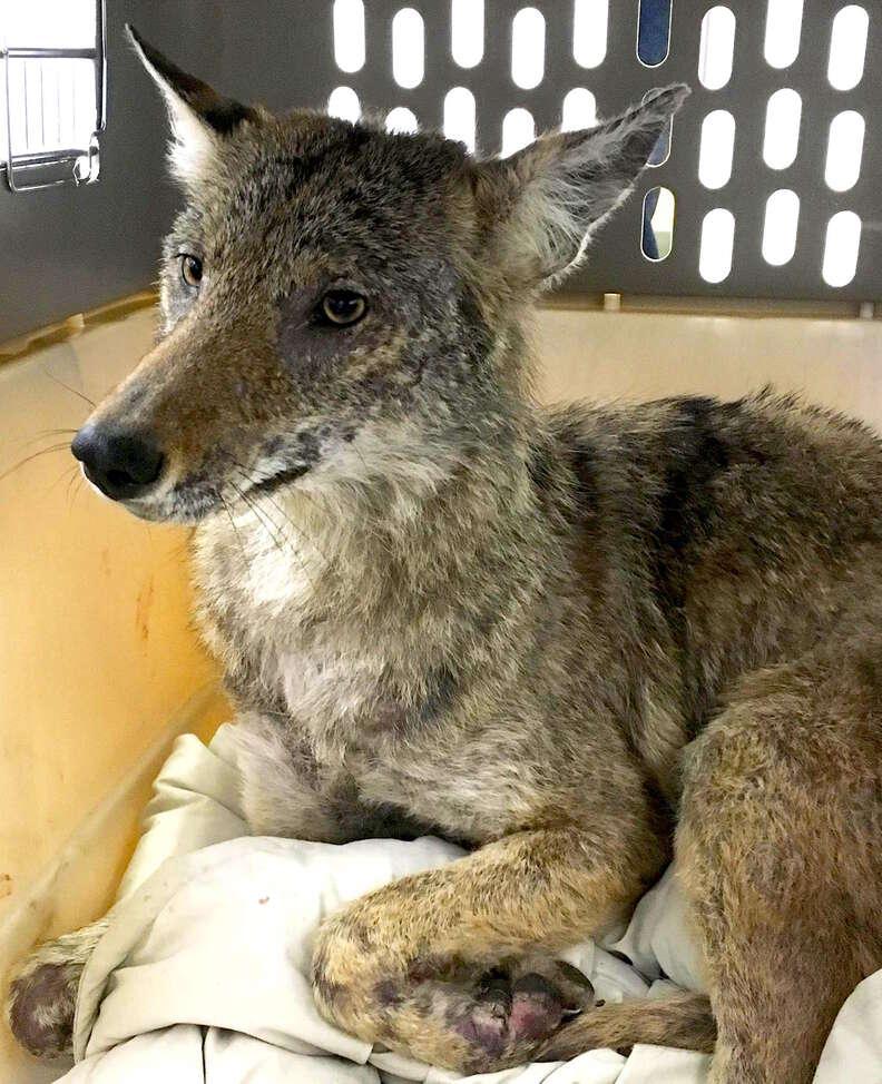 Sick coyote found in schoolyard