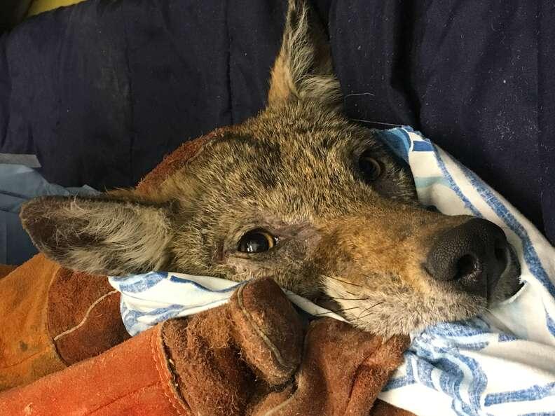Sick coyote found in schoolyard in Canada