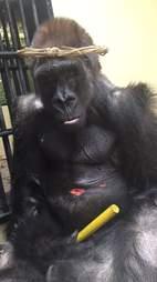 gorilla zoo florida