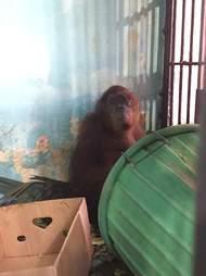 orangutan zoo florida