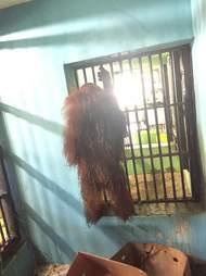 orangutan florida zoo