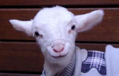 Portrait of rescue lamb