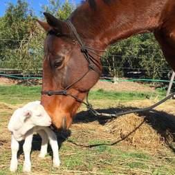 Rescue horse nuzzling a lamb