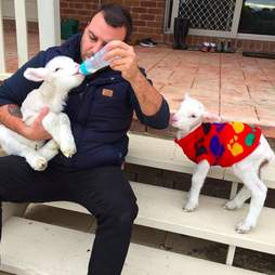Man bottle feeding tiny lamb while another lamb watches