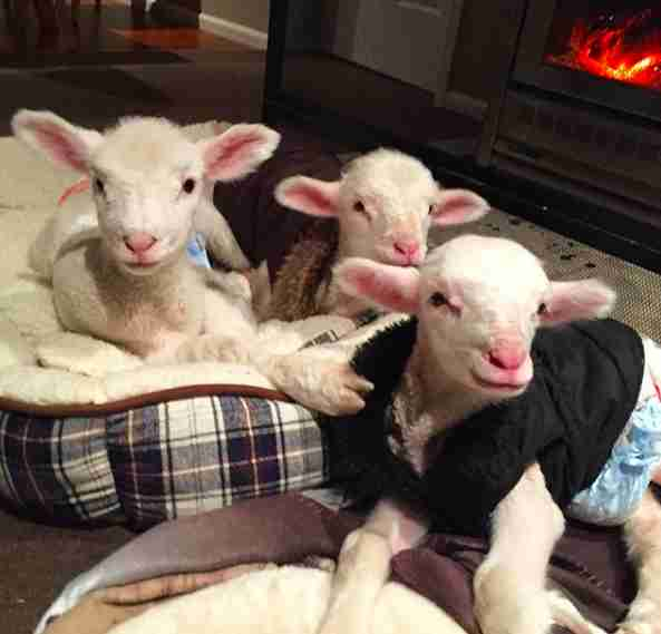 Lambs sleeping in dog beds in front of fireplace