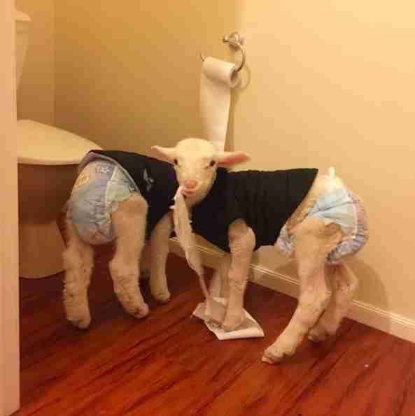 Lambs getting into trouble by chewing toilet paper