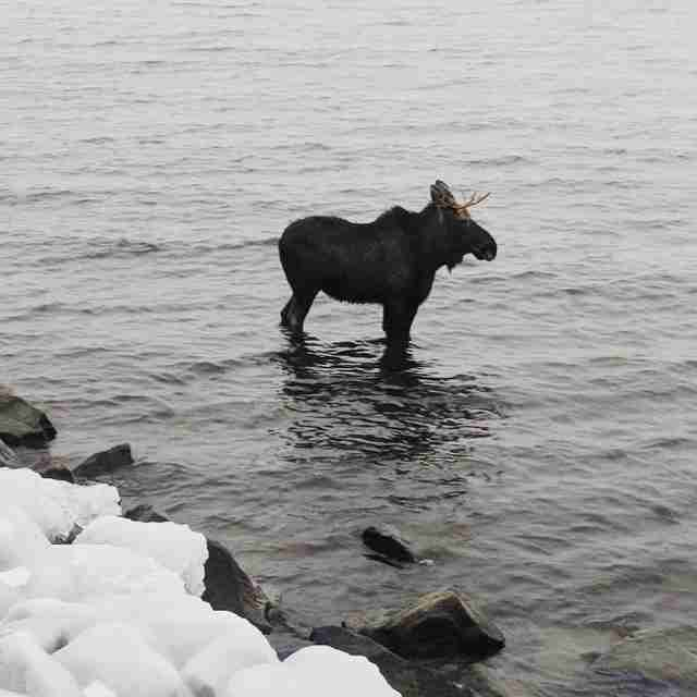 Stranded moose in North Bay, Ontario
