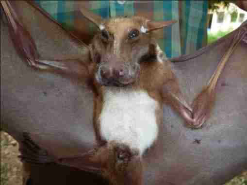 African Fruit Bat Looks Like A Dog With Wings The Dodo