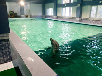 Captive dolphin in hotel swimming pool