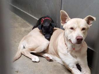 Bonded dogs snuggling together in California high kill shelter