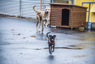 Bonded dogs running together on concrete