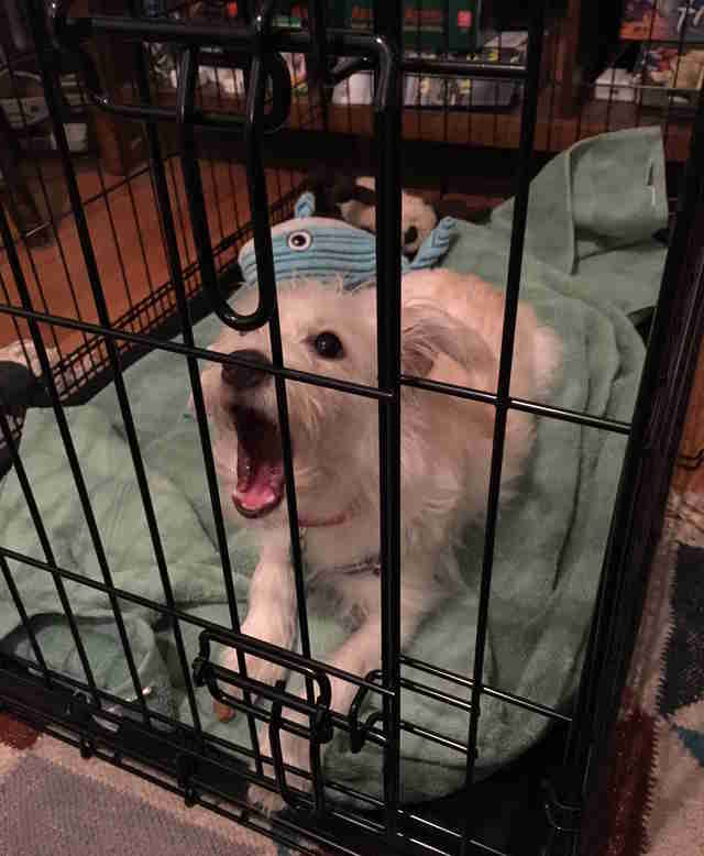 Judy the terrier yawns in her crate