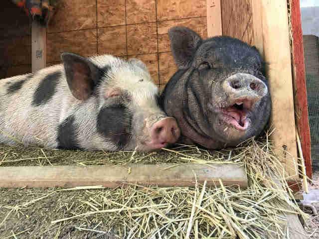 Rescue pigs snuggled up together in house
