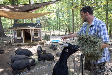 Man feeing rescue pigs and goats at sanctuary