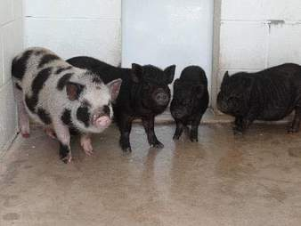 Stray pigs at county shelter