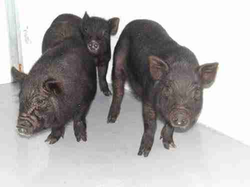 Stray pigs inside county shelter