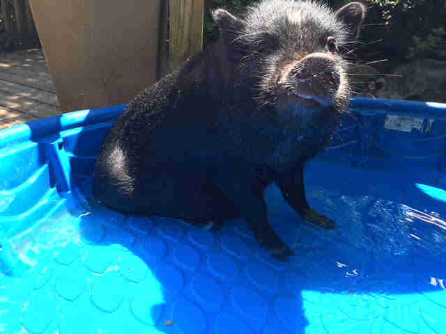 Rescue pig inside kids swimming pool