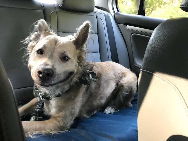 Dog with big smile sitting in back of car