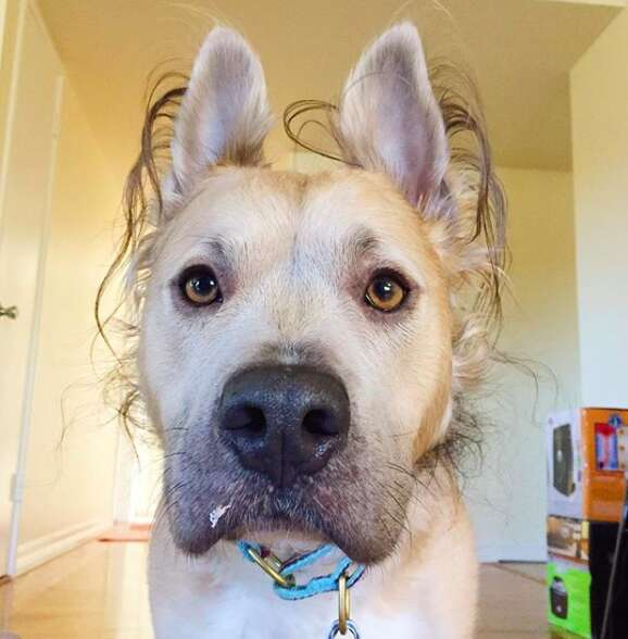 Dog with curly fur around his head